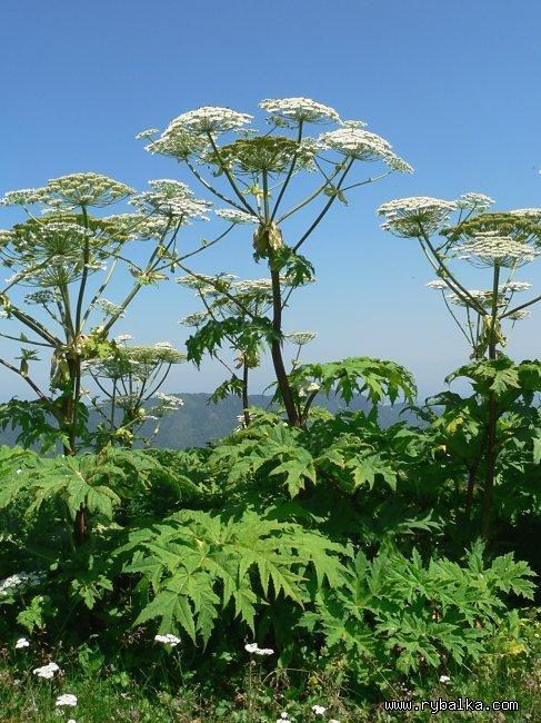 Борщевик Сосновского - взрослое растение